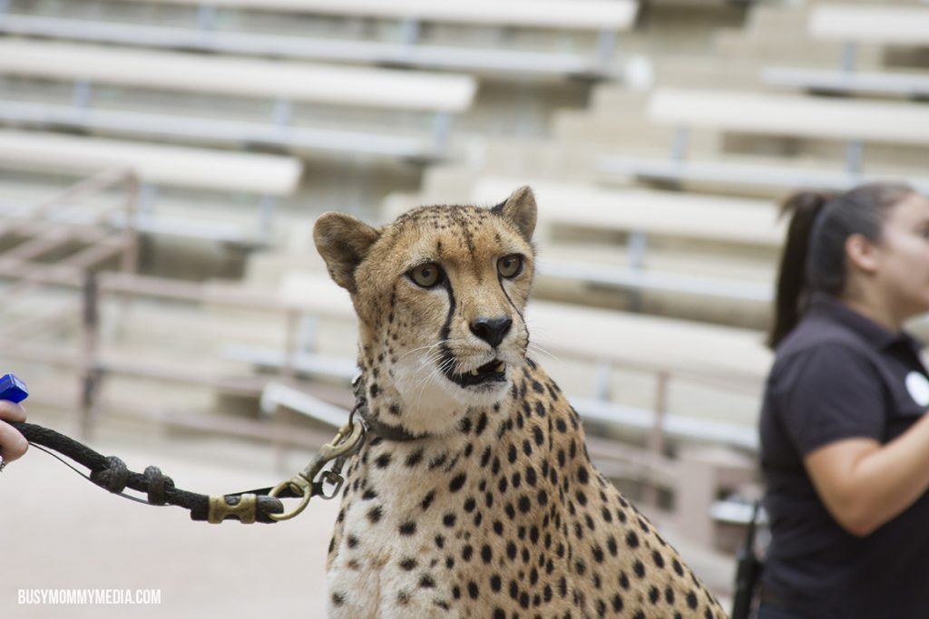 Cheetah at the San Diego Zoo